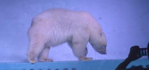 El este CEL MAI TRIST urs polar din lume. Îl cheamă Pizza - foto BBC