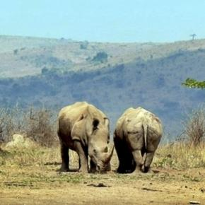 KwaZulu-Natal Rhino / Photo CCO Public Domain via hbeiser, Pixabay.com