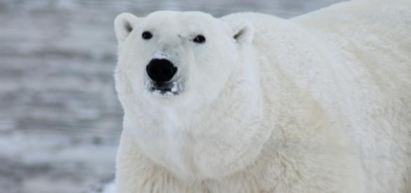 The Arctic polar bear. Photo by Pixabay.