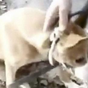 Cadela chora ao ser resgatada após estupro - Imagem/Meramente Ilustrativa