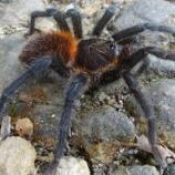 La mygale Kankuamo Marquezi, nouvellement découverte - Crédits : Dirk Weinmann