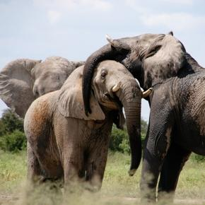 African elephants in the wild. (Pixabay)