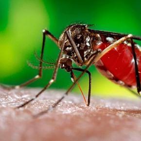 """Virus se transmite por mosquitos """"Aedes aegypti"""""""