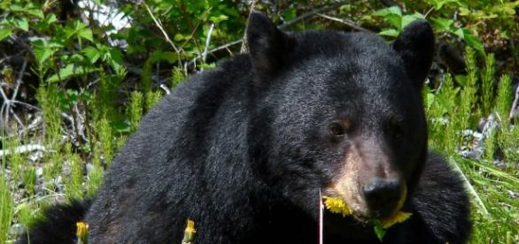 A large black bear eating dandelions.