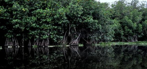 El manglar es un bosque pantanoso
