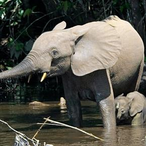 Sapo National Park forest elephants. Wikimedia