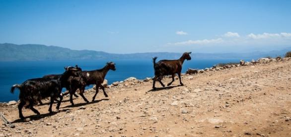 Powoli, czyli po grecku. Greckie kozy, Zakynthos.