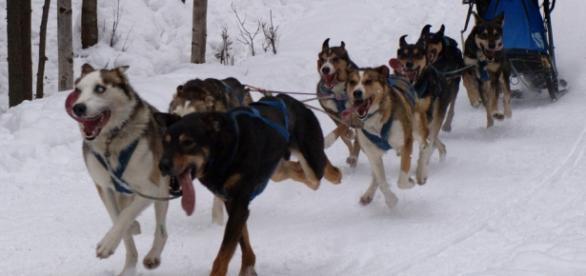 Iditarod race Alaska [Photo: Nat Wilson/Flickr CC]
