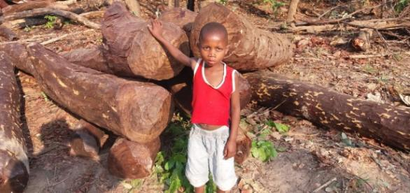 Mukula logs awaiting transport in the DRC