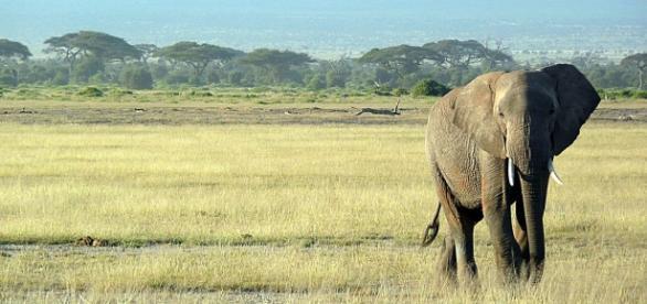 East African Elephant. Courtesy of Pixabay