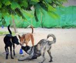 Anahi consiguió hogar para decenas de podencos maltratados que entraron en la perrera