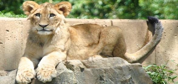 Lion cub attack on five-year-old boy/Flickr