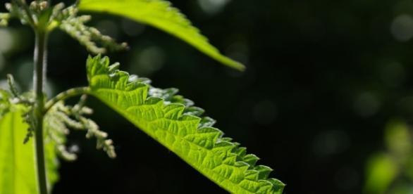Młode liście pokrzywy - niesamowitej wartości chwasty