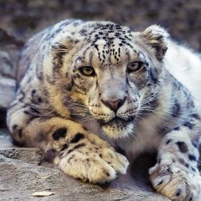Snow leopard. Courtesy Pixabay commons