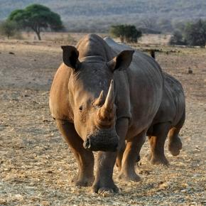 African rhino. Creative commons no attrition/Pixabay.com