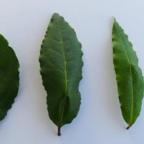 Świeże liście laurowe to niepowtarzalny smak i aromat