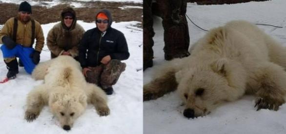 Polar-grizzly hibridul care a uimit comunitatea științifică și internauții. Foto: DIDJI ISHALOOK/FACEBOOK