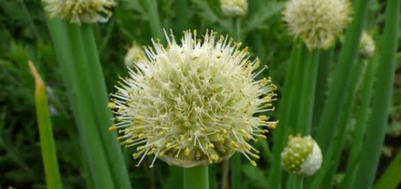 Kwiaty cebuli siedmiolatki wykorzystaj do zrobienia nalewki (scrn)