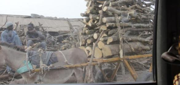 In Brikama, illegal timber waits to be transported to the cutting mill / Sam Phatey, SMBC NEWS