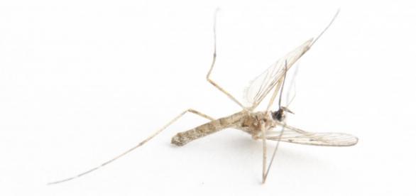 Komary nie lubią zapachu niektórych ziół