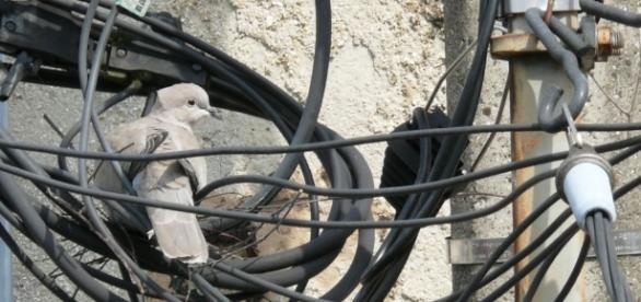 Une tourterelle dans son nid improvisé