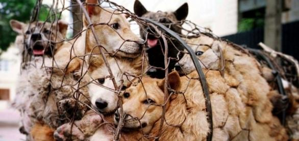 Why China's dog eating festival is a wake-up call to the world - animalsaustralia.org