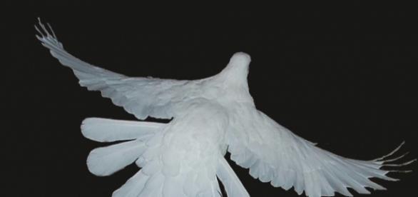 La colombe prie pour la Paix, le Shalom, le Salaam...