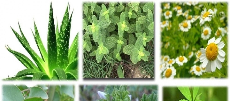 P mies afirma que las plantas medicinales aportan m s for Planta decorativa con propiedades medicinales crucigrama