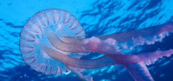 Pelagia Noctiluca, la medusa giunge nei nostri piatti.