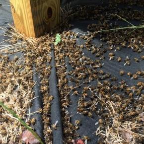 Des millions d'abeilles victimes du pesticide Naled