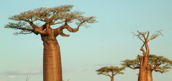 """Les fameux """"Baobab"""" de Madagascar, de vraies merveilles."""