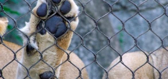 Lion in captivity / Photo by pau-angle3, CC0 Public Domain, via Pixabay.com