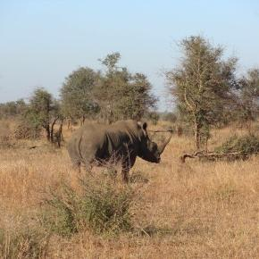 A rhino grazing in South Africa's Kruger National Park / Photo via Maisie Hayden, Blasting News