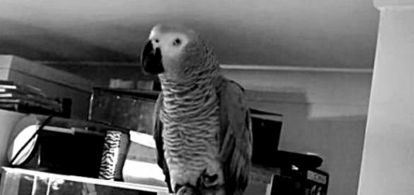 Amazing African Grey Parrot Talking, Spelling. / Photo screencap via riacarroll, Youtube.om