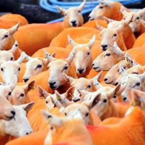 Pip Simpson peint ses moutons en orange