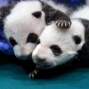 Giant panda is no longer endangered, experts say - seattlepi.com - seattlepi.com