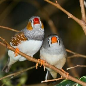 Zebra finch - Wikipedia, the free encyclopedia - wikipedia.org