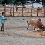Der Stierkampf auf thailändisch. Foto R. Kretschmer
