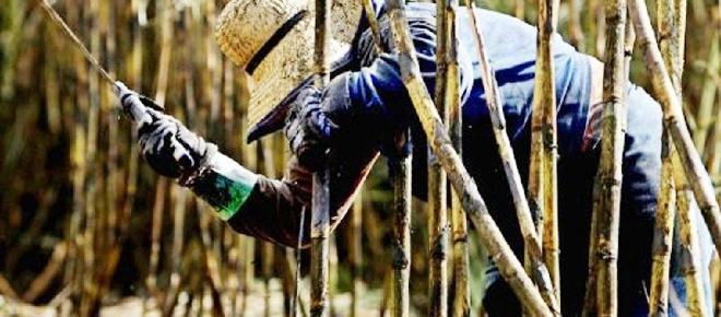 ¿Para qué cultivar la caña de azucar en Venezuela?