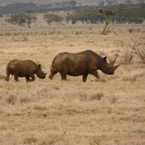 Profile of two black rhinos (mother and calf), Laikipia region, Lewa, central Kenya./ Photo via Wikipedia, by Harald Zimmer