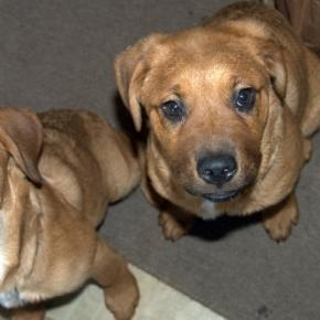 St Weiler puppies, photo by reporter, John A McCormick