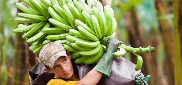 Cultivos de plátanos y cambures crean más empleos
