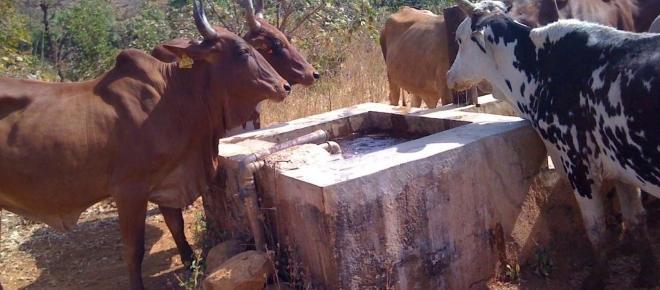 Cameroun : vers une modernisation de l'élevage des bovins