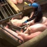 VIDEOS. L 214 dévoile des images choc de l'abattoir porcin de ... - leparisien.fr