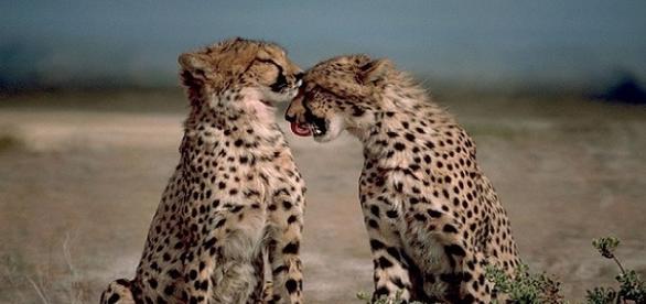 Lisa Kytsaho: la ragazza che 'sussurrava' ai ghepardi