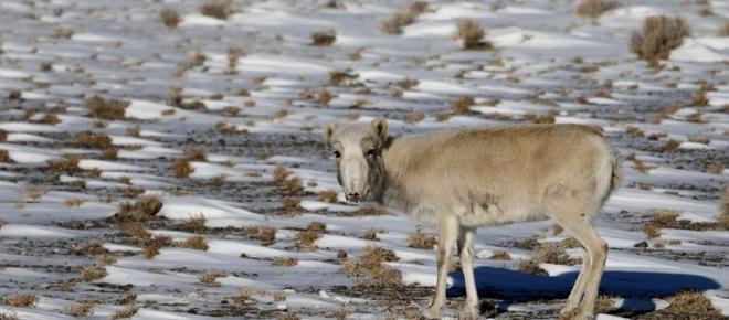 Mongolian antelopes heading towards extinction