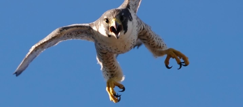 Aereo Da Caccia Falco : Noleggia un aereo per i suoi falchi da caccia la foto