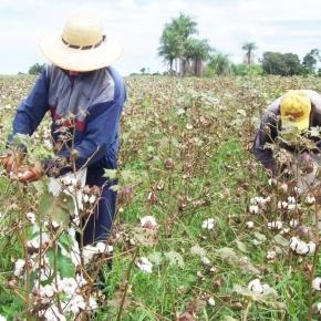 Escasa siembra de algodón para producción de semillas.