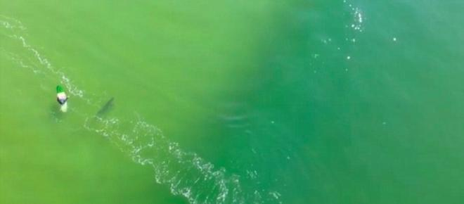 Drone captures great white shark charging at a surfer