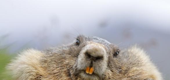 täglich grüßt das Murmeltier Foto & Bild   Natur, Säugetiere ... - fotocommunity.de